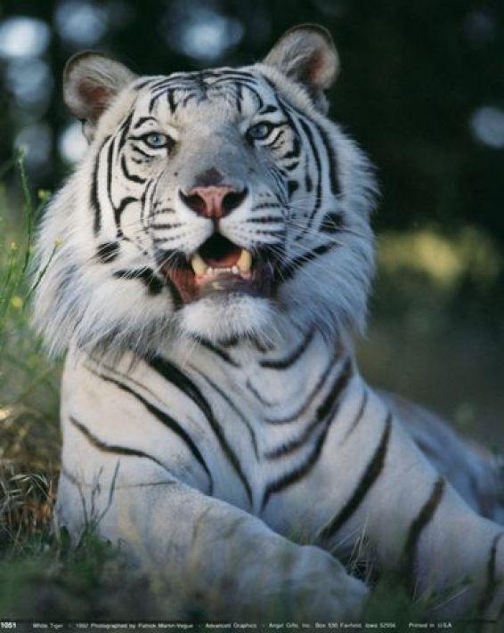 Животни: Бял тигър