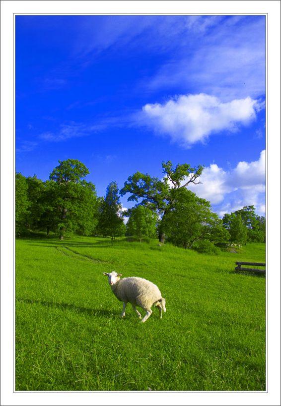 Животни: Овца