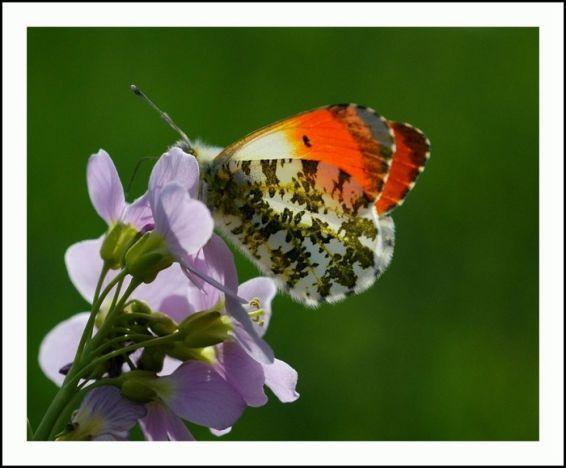 Животни: Пеперуда