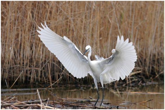 Животни: Бяла чапла