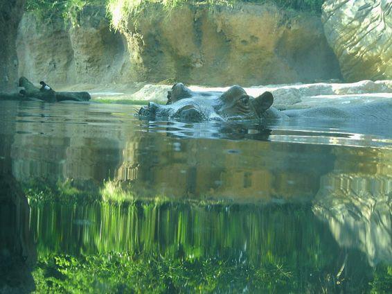 Животни: Полухипопотам