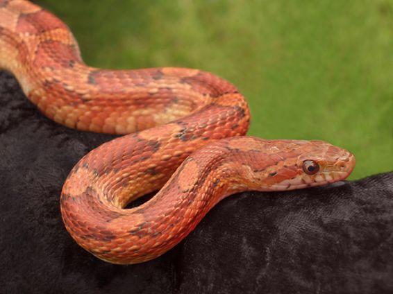 Животни: Corn snake