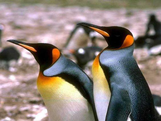 Животни: пингвини